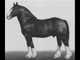 7 самых красивых пород лошадей (часть 3)-тяжеловозы